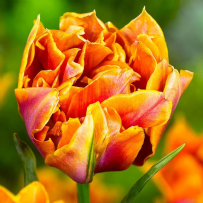 Tulip - Willem Van Orange